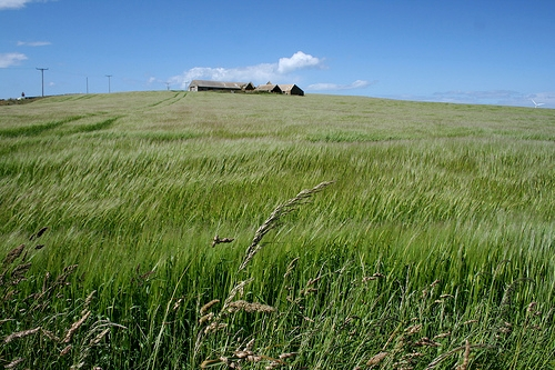 Orkney farmhouse and barley field